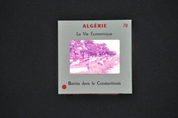 diapositive - Algérie. Bovins dans le Constantinois