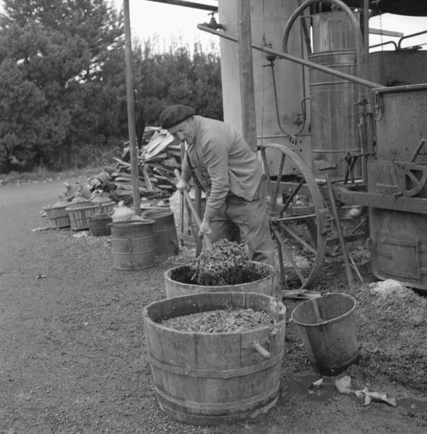 photographie - Monsieur Jean Caban, distillateur, prend dans la comporte en bois cerclée de fer que lui a apporté un vigneron, le marc qu'il va mettre dans l'alambic