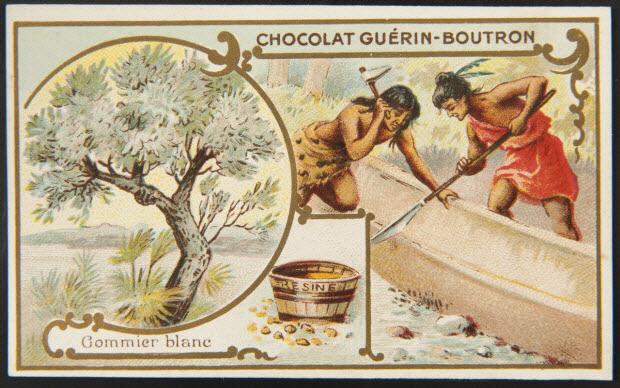 carte réclame - Gommier blanc