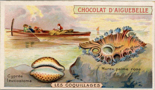 carte réclame - LES COQUILLAGES Cyprée leucostoma Murex palme rose