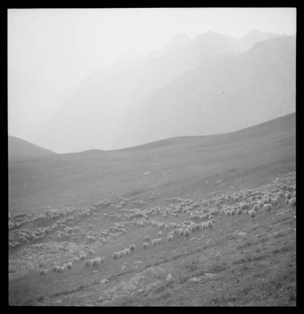 photographie - Moutons à l'alpage