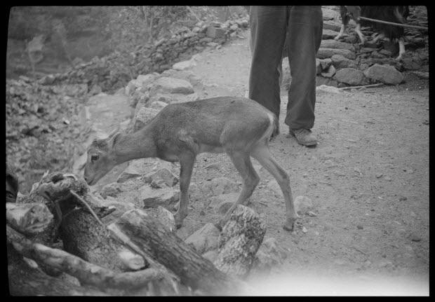 photographie - Chez Don Pierre Guerrini. Jeune mouflon mâle appartenant à Monsieur Mathieu Maistroli